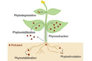 Hemp Sustainability - Phytoremediation