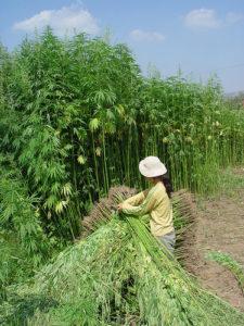 green hemp farming