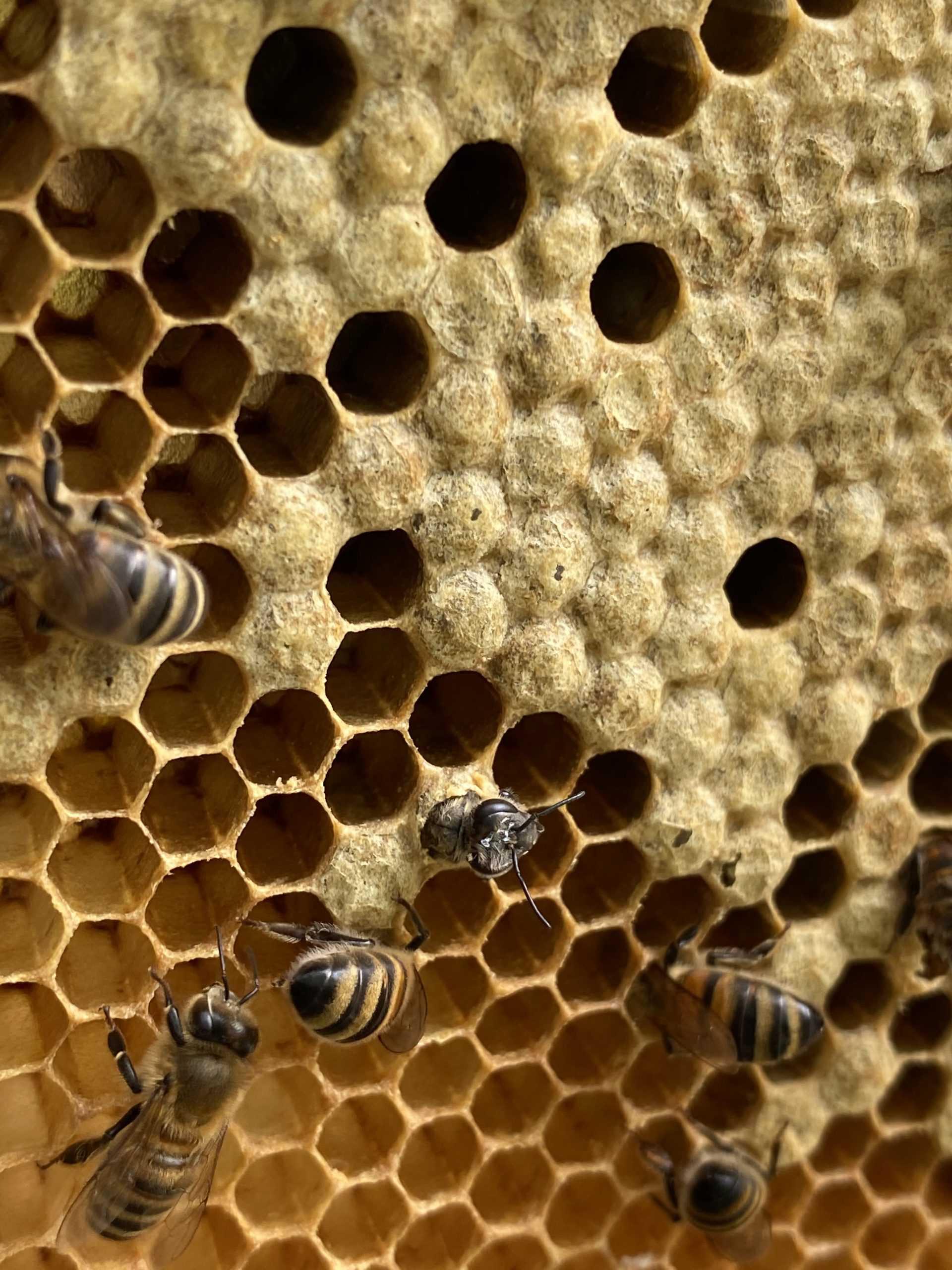 Honey bee brood comb